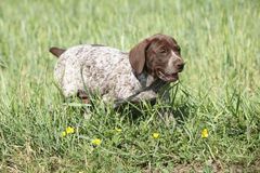 Puppy of German Shorthaired Pointer running Royalty Free Stock Photography