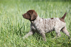 Puppy of German Shorthaired Pointer running Royalty Free Stock Images