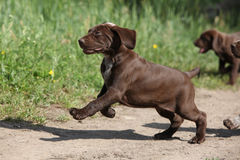 Puppy of German Shorthaired Pointer running Royalty Free Stock Photos