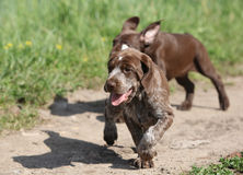 Puppy of German Shorthaired Pointer running Royalty Free Stock Photo