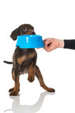 Puppy gets feed Royalty Free Stock Photo