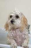 Puppy Getting a Bath. Maltese - Toy Poodle Mix Puppy Getting His Bath Stock Images