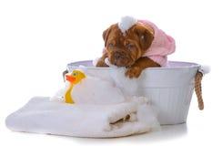 Puppy getting a bath. Female dogue de bordeaux puppy getting a bath on white background Stock Photo