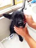 Puppy getting a bath Royalty Free Stock Photo