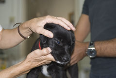 Puppy getting checked Stock Photography