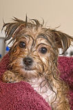 Puppy Getting Dry After His Bath Royalty Free Stock Photos