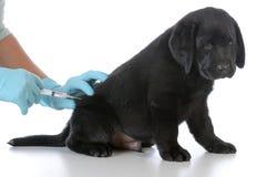 Puppy getting vaccinated. Labrador retriever puppy getting vaccinated on white background Stock Photo
