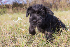 The puppy of Giant Black Schnauzer Dog is jumping Stock Photo