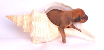 Puppy in large seashell Stock Photo