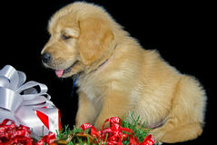 Puppy with gift Stock Photos
