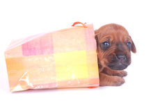 Puppy in gift bag Royalty Free Stock Image
