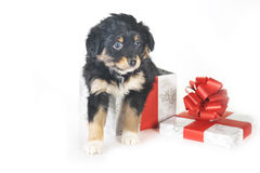 Puppy and gift box Royalty Free Stock Photos