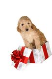 Puppy and gift box Stock Image