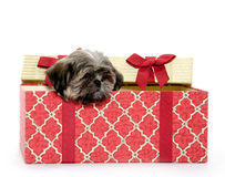 Puppy in gift box Royalty Free Stock Photography
