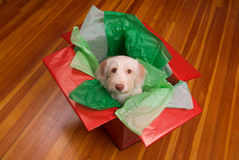 Puppy in gift box Royalty Free Stock Image