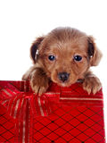 Puppy in a gift box Royalty Free Stock Photo