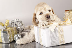 Puppy and gifts. American Cocker Spaniel puppy and gifts christmas Stock Photo