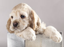Puppy and gifts. American Cocker Spaniel puppy and gifts christmas Stock Images