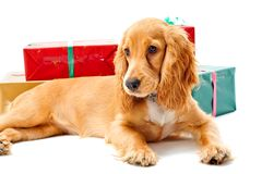 Puppy and Gifts. A cute puppy sitting with some wrapped gifts stock photos