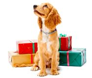 Puppy and Gifts Royalty Free Stock Images