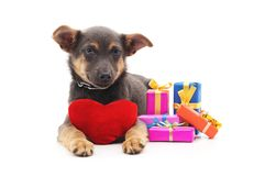 Puppy with gifts and toy heart. Puppy with gifts and toy heart on a white background Royalty Free Stock Photography