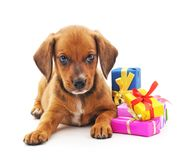 Puppy with gifts. Puppy with gifts on a white background Stock Image