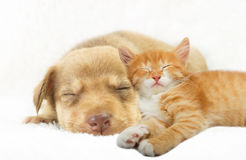 Puppy and ginger kitten sleeping on a white bedspread Royalty Free Stock Photography