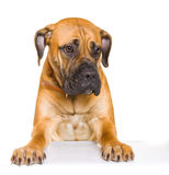 Puppy of girl of 8 months boerboel Royalty Free Stock Images