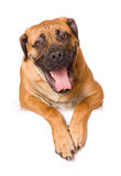 Puppy of girl of 8 months boerboel Stock Image