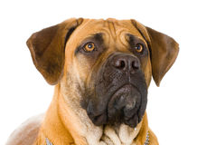 Puppy of girl of 8 months boerboel Stock Images