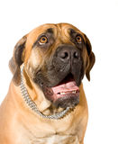 Puppy of girl of 8 months south African boerboel p Stock Photos