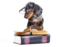 Puppy in glasses Stock Photo