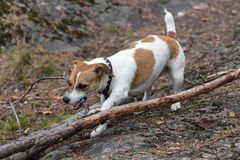 Puppy gnaws a tree branch Stock Photo