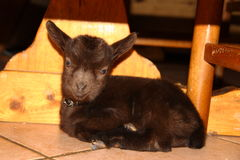 Puppy goat Royalty Free Stock Photos