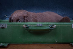 Puppy goes on holiday. Flat Coated Retriever Puppy goes on holiday Royalty Free Stock Photos