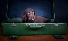Puppy goes on holiday. Flat Coated Retriever Puppy goes on holiday stock image