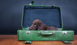 Puppy goes on holiday. Flat Coated Retriever Puppy goes on holiday stock photos