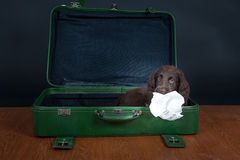 Puppy goes on holiday. Flat Coated Retriever Puppy goes on holiday royalty free stock photography