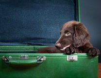Puppy goes on holiday. Flat Coated Retriever Puppy goes on holiday stock photo