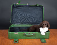 Puppy goes on holiday. Flat Coated Retriever Puppy goes on holiday stock images