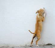 Puppy gog trying to jump over the wall Royalty Free Stock Image