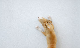 Puppy gog trying to jump over the wall Stock Photo