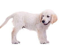 Puppy Golden Labrador Stock Photos