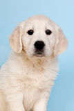 Puppy golden retreiver Royalty Free Stock Images