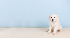 Puppy golden retreiver Royalty Free Stock Photo