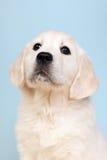 Puppy golden retreiver Royalty Free Stock Photos