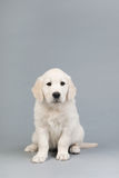 Puppy golden retreiver Stock Images
