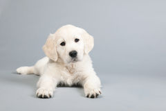 Puppy golden retreiver Stock Image