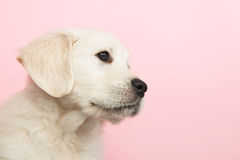 Puppy golden retreiver Stock Photo
