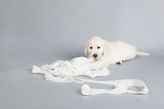 Puppy golden retreiverplaying with bandage Royalty Free Stock Photos